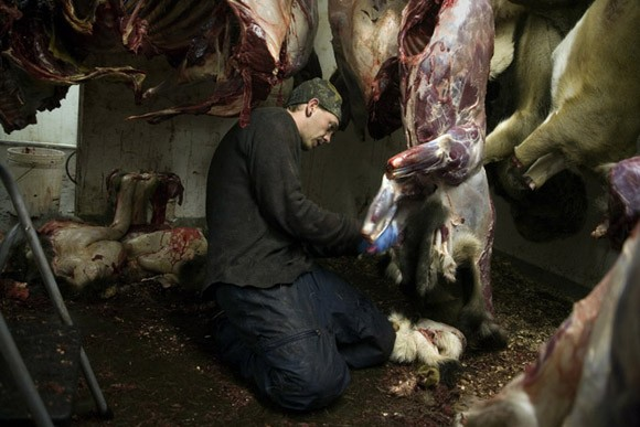 A man skins deer at the House of Meats wild game processing facility in Great Falls, Montana, USA.