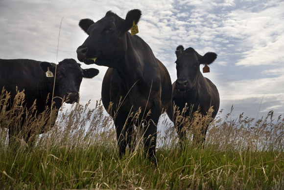 Black Angus beef cattle graze on land outside of Fairfield for the Malek Angus Ranch operation.   The Malek Angus Ranch operates Big Sky Montana Beef, a high-quality jerky and other processed meat business.