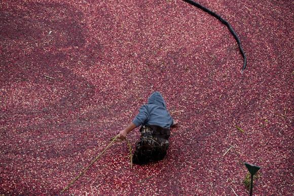 Cranberry Harvest Celebration - Wareham, Mass.