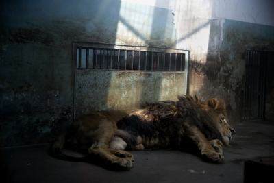 Lion in Chinese zoo