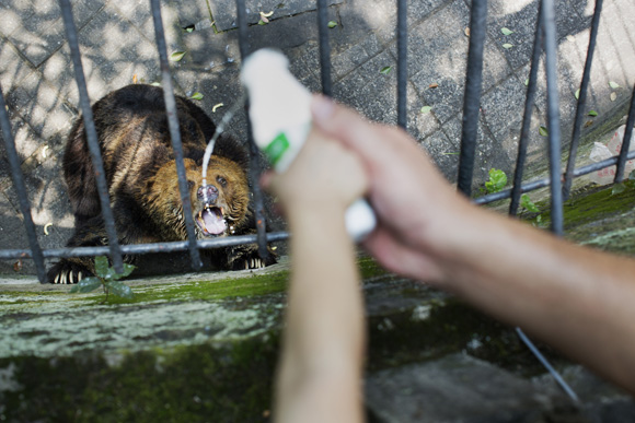 A father and child pour milk into the mouth of a Tibetan Bear in Chongqing, China.